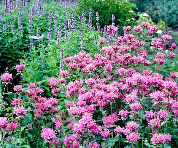 bee balm in perennial garden