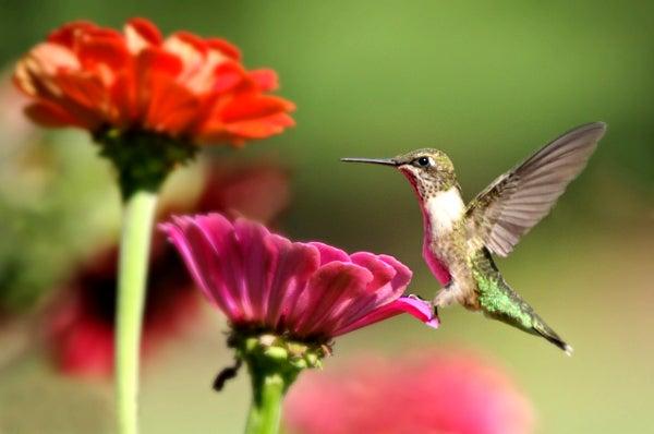 hummingbird on a zinnia bloom