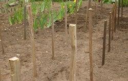 Dahlia Planting Instructions 4
