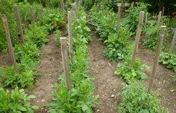 Sprouting Dahlias