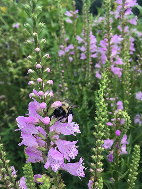 Bumblebee & Obedient Plant By Andrea Halfhill