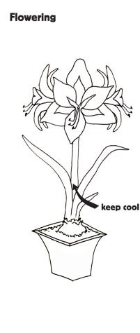 Amaryllis growing instructions shop for all amaryllis bulbs and kits ccuart Image collections