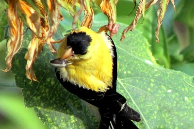 a finch steals a seed snack from a sunflower bloom