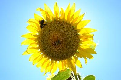 a honey bee visits a sunflower
