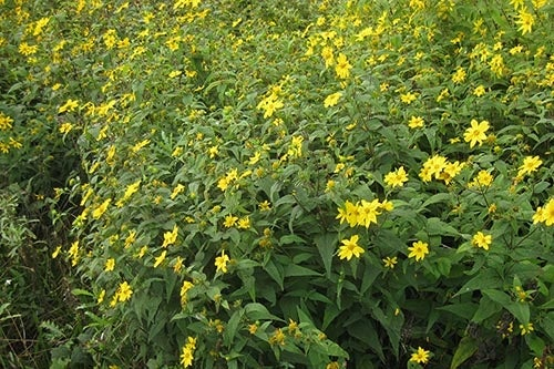 Top perennial plants for wildflower meadows woodland yellow sunflower in bloom mightylinksfo