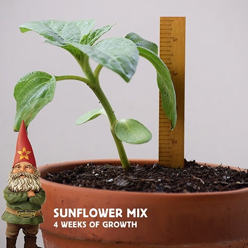 Sunflower Seedling after four Weeks of Growth