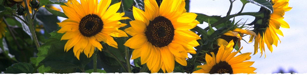 all about sunflowers banner