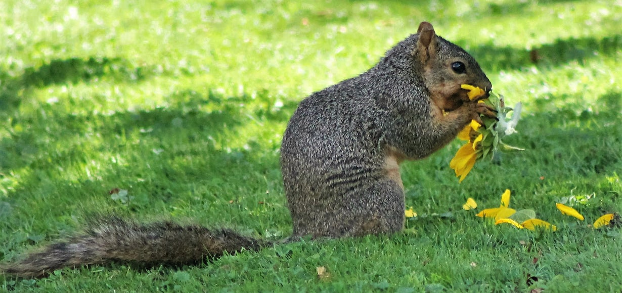 squirrel eating sunflower head