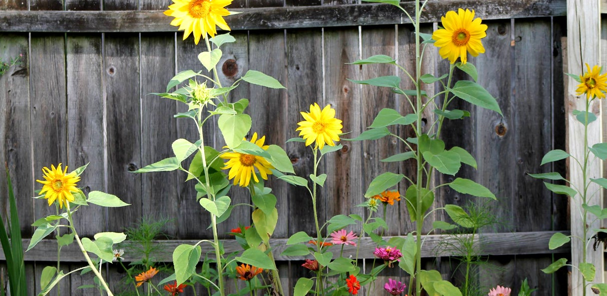Sunflowers lining fence