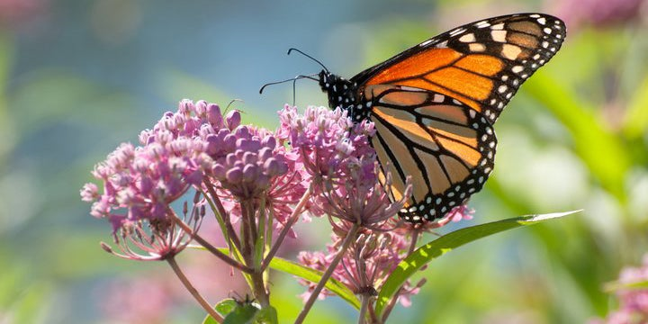 A monarch butterfly visiting Milkweed (Asclepias)
