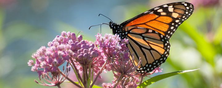 Common Milkweed with Monarch Butterfly