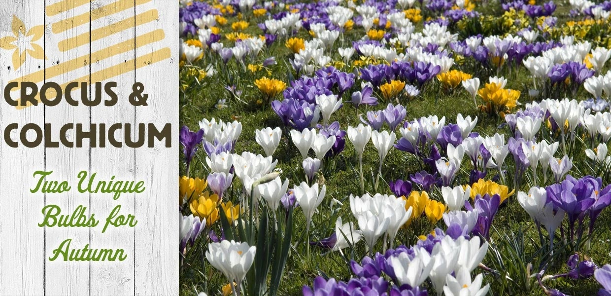 crocus and colchicum unique bulbs