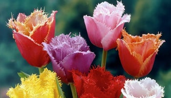 fringed tulips in bloom