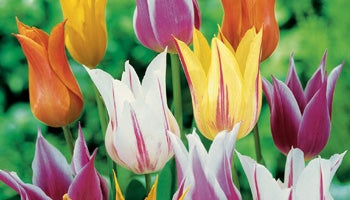 lily flowered tulips in bloom