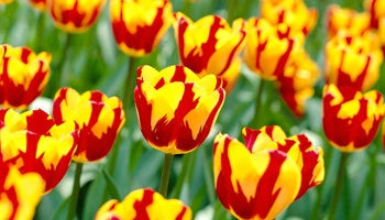 triumph tulips in bloom