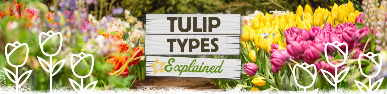 tulip types explained banner