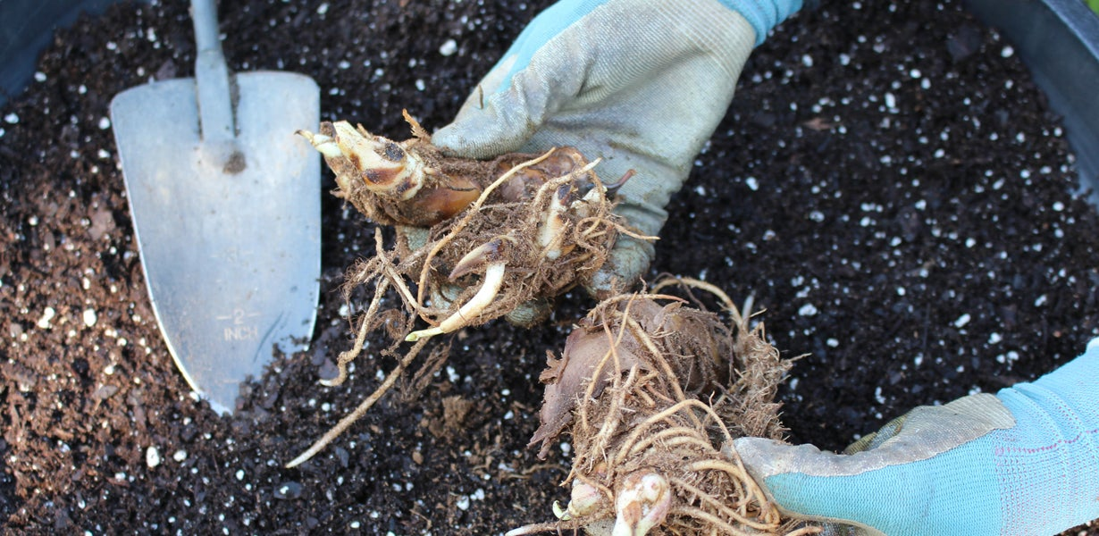 canna rhizomes in containers