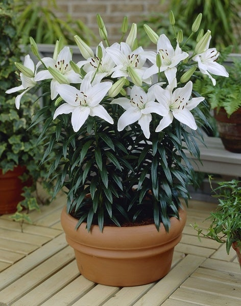 Asiatic Lily New Wave
