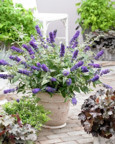 Butterfly Bush 'Lo and Behold Blue Chip'