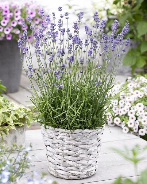 Munstead English Lavender