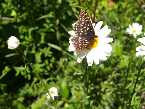 butterfly visiting a daisy