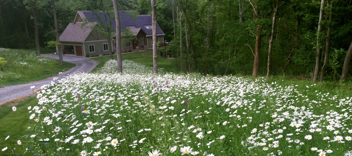 meadow filled with daisies