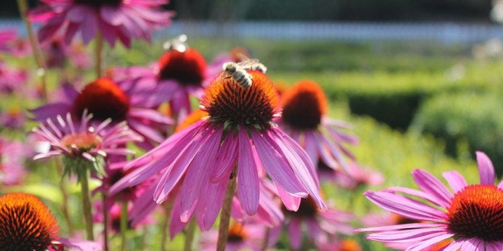 Bees visiting Echinacea (Coneflowers). Customer Photo by Prudence Marie Munger.