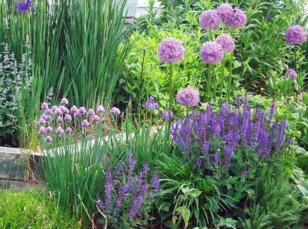 Allium in Bloom in garden with Salvia