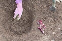 Allium bulbs being planted