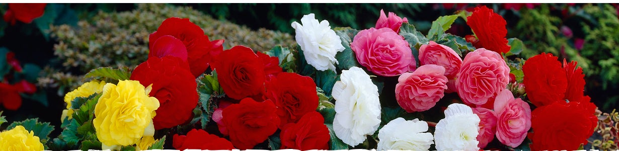 how to grow begonias in a windowbox