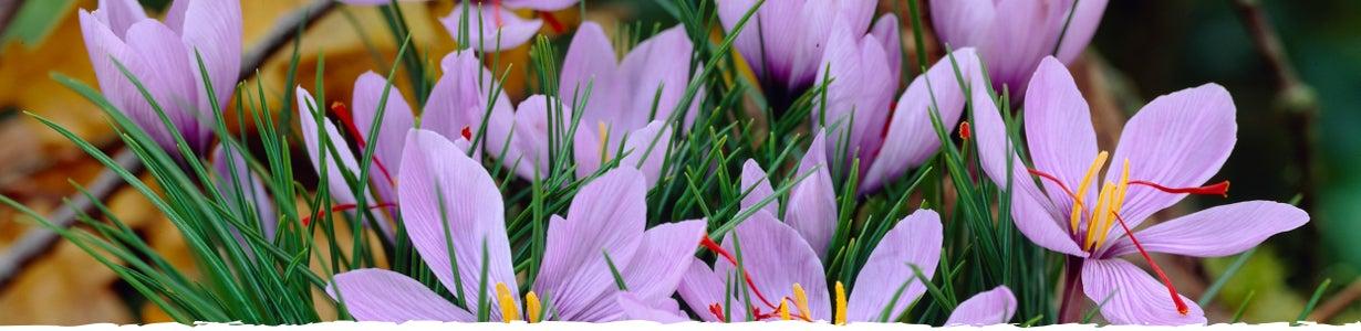 Saffron Crocus Banner