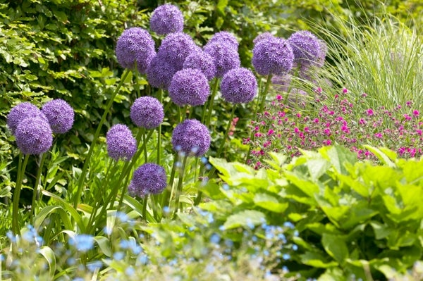 growing-allium-in-cutting-garden