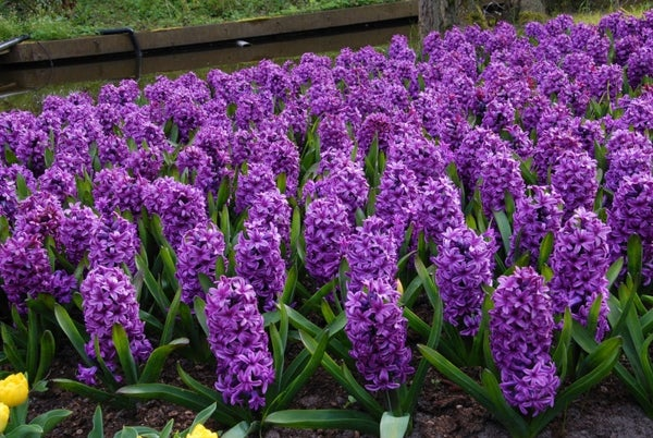 growing hyacinths for bouquets