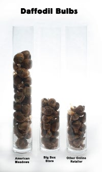 Daffodil Bulbs Comparison