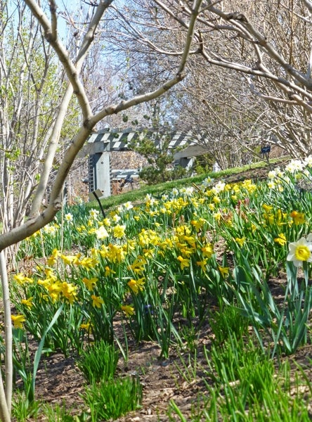 daffodils naturalizing underneath a tree