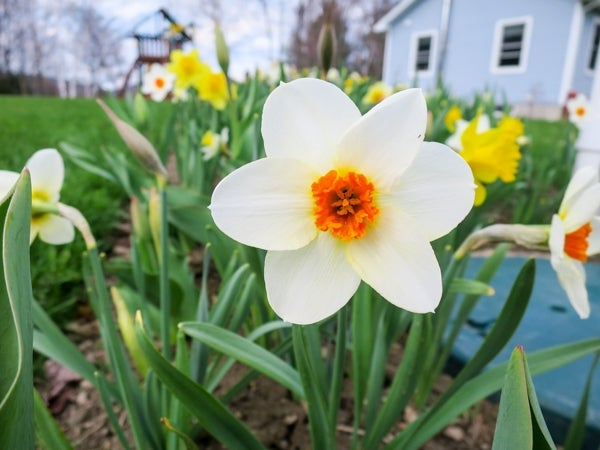 orange and white large cupped daffodils in bloom