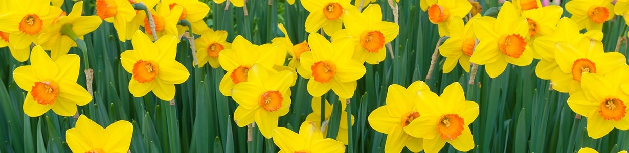colorful daffodils in bloom