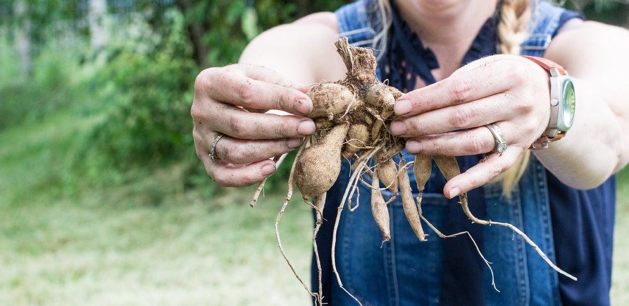dahlia tubers look like sweet potato slips