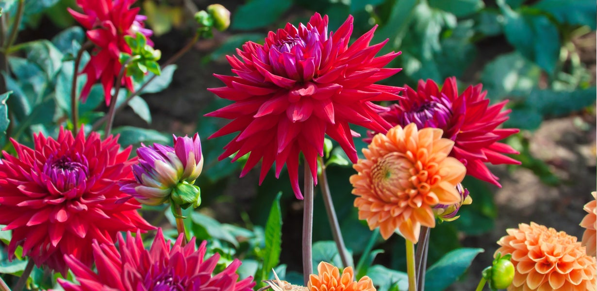 red and orange dahlias growing side by side