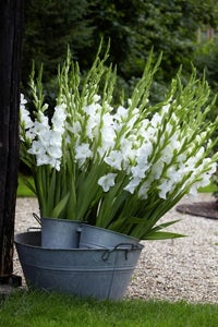 White Prosperity Gladiolus in container