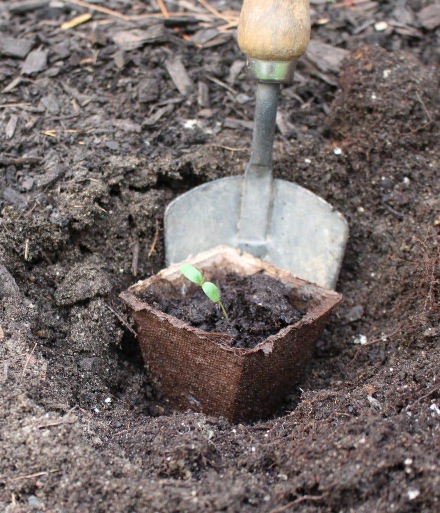 transplanting milkweed into the ground