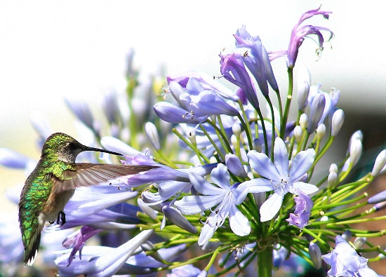 African Lily with hummingbird