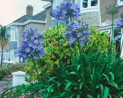 African Lilies shine in shades of blue