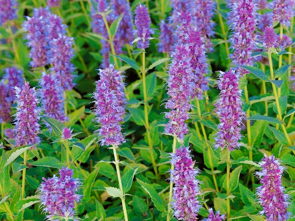 Agastache Blue Fortune is a good option for northern zones