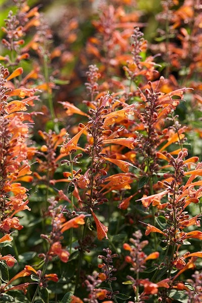 Agastache Tango is a long-lasting bloomer