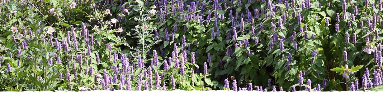 All About Agastache Banner