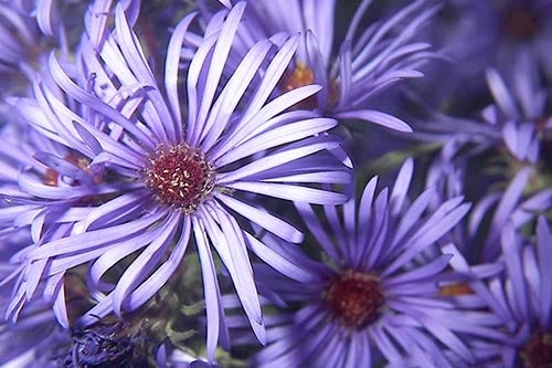 Purple New England Aster in Bloom