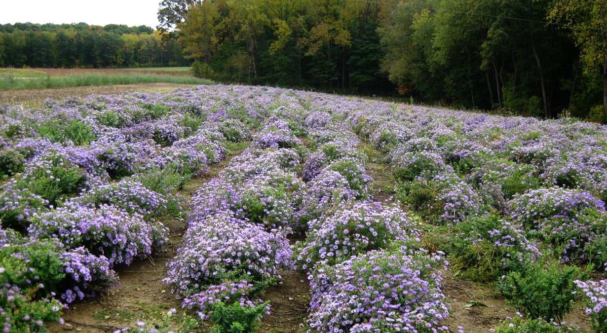 rows of field-grown aster