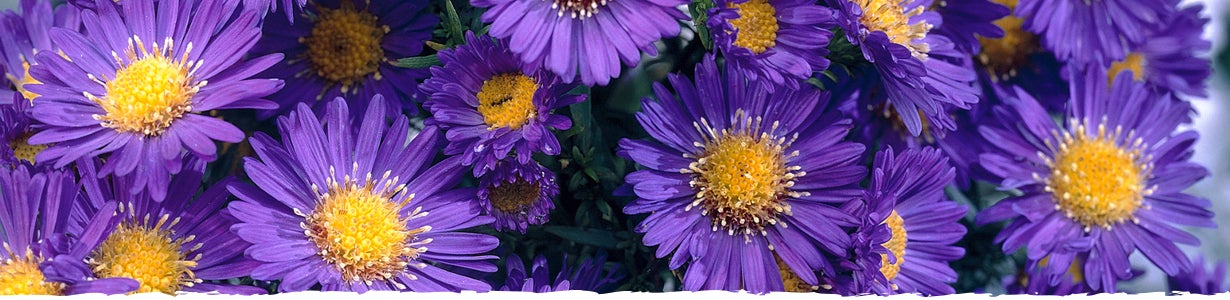 how to grow Aster banner