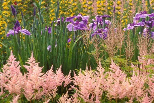 astilbe with siberian iris